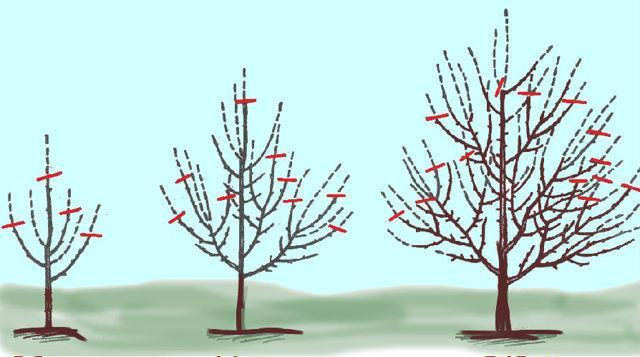 Омолаживающая обрезка яблонь: как сделать, схема, видео