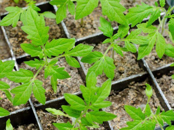 Лунный календарь для посадки томатов на рассаду