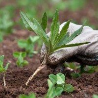 Сорняки: вред и польза