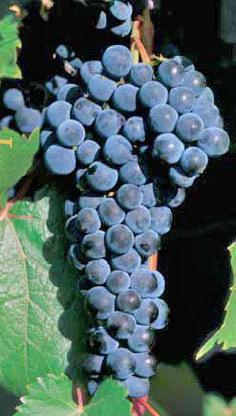 Виноград Маркетт: описание сорта, фото, отзывы