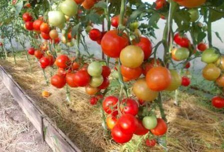 Томат Альфа: описание сорта, отзывы, фото, урожайность