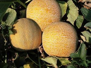 Дыня Колхозница: сколько калорий, польза и вред, как выбрать, сколько весит