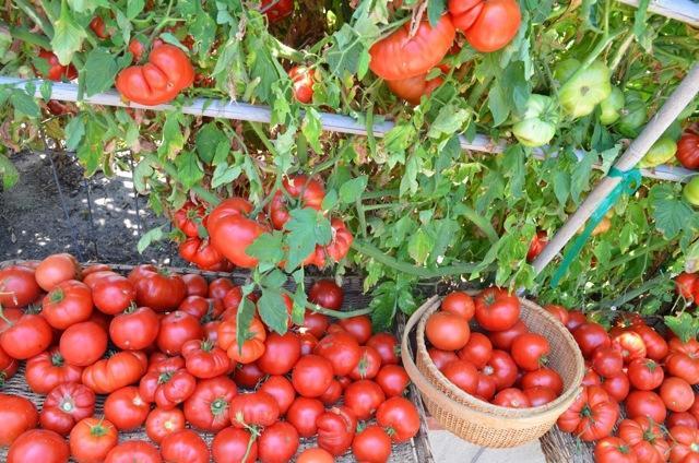 Земля для рассады помидор