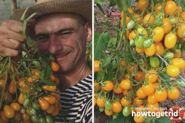 Томат Ильди: описание сорта, фото, отзывы