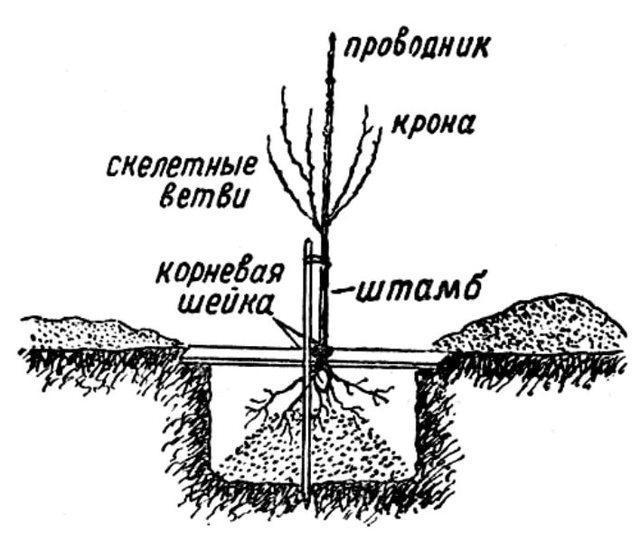 Черешня Регина: описание сорта, опылители, фото, отзывы