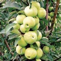 Колоновидные плодовые деревья: фото