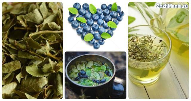 Листья черники: лечебные свойства и противопоказания, когда и как собирать, как сушить, как ферментировать, как заваривать, как принимать
