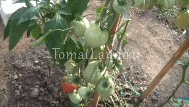 Томат Алсу: описание сорта, фото, отзывы, урожайность