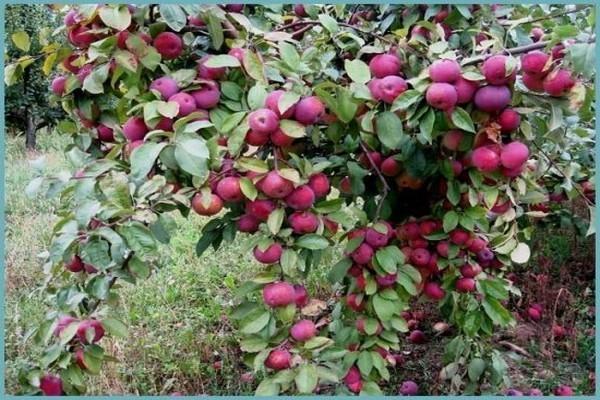 Яблоня Флорина: описание сорта, фото, отзывы