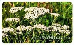 Засухоустойчивые цветы для сада