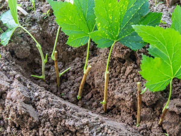 Размножение черной и красной смородины черенками осенью