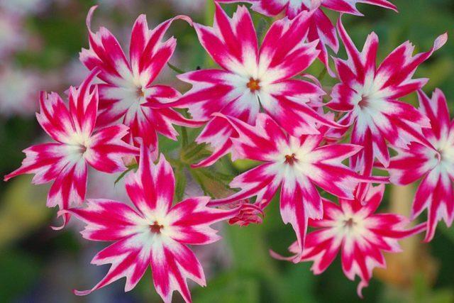 Многолетники для дачи, цветущие все лето + фото