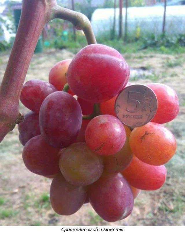 Виноград Эверест Павловского: описание сорта, отзывы, фото и видео