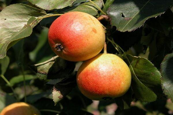 Груша Дюймовочка: описание сорта, фото, отзывы, опылители, выращивание