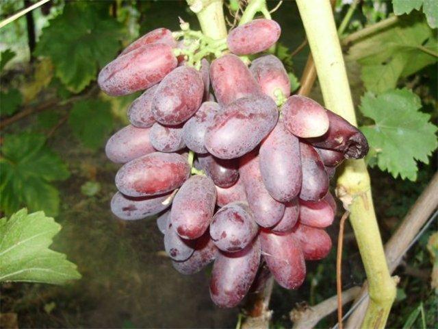 Виноград Изюминка: фото, описание сорта, отзывы