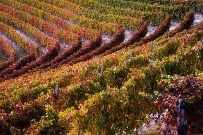 Виноград Валентина: фото, описание сорта, видео, отзывы