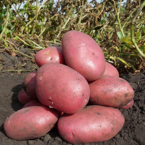 Картофель Балтик Роуз: характеристика и описание сорта, посадка и уход