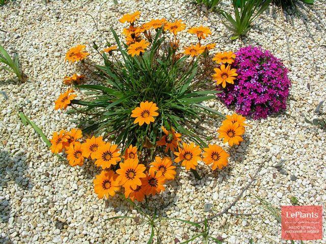 Гацания: выращивание из семян, когда сажать, фото