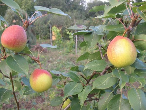 Груша Красуля: описание сорта, фото, отзывы садоводов, посадка и уход