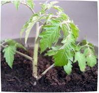 Штамбовые сорта помидор для открытого грунта