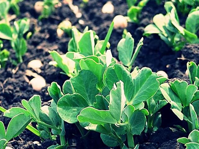 Как замочить семена гороха