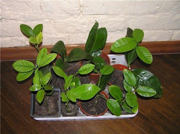 Размножение лимона черенками в домашних условиях: укоренение и посадка