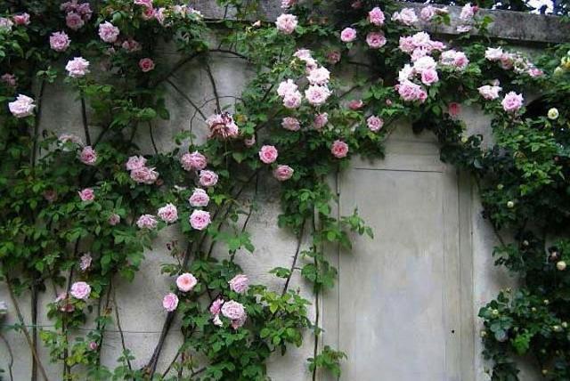 Плетистая роза не цветет, причины
