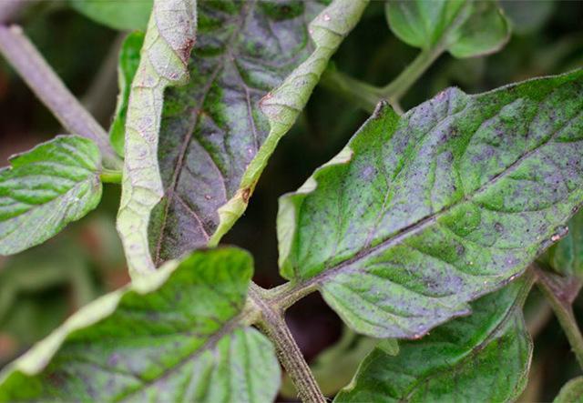 Листья томата скручиваются лодочкой, что делать