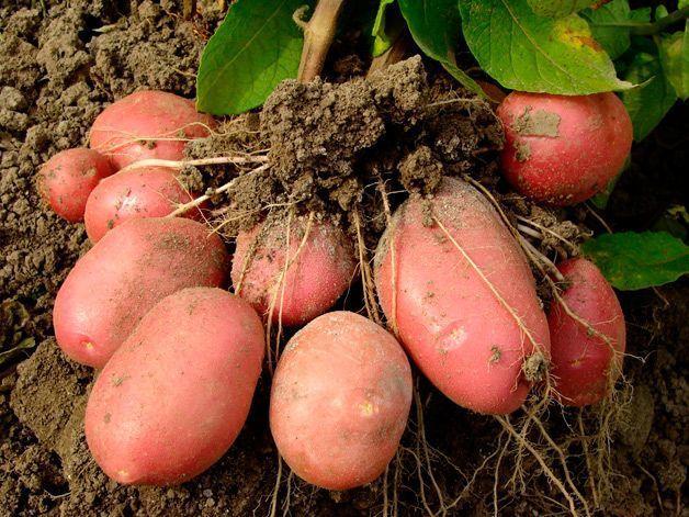 Температура хранения картофеля: какая должна быть в погребе, овощехранилище