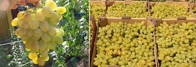 Виноград Долгожданный: фото, описание сорта, отзывы о кишмише, видео