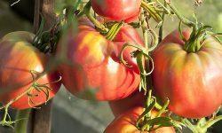 Томат Сто пудов: описание сорта, фото, отзывы, урожайность
