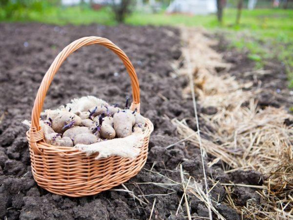 Медный купорос перед посадкой картофеля