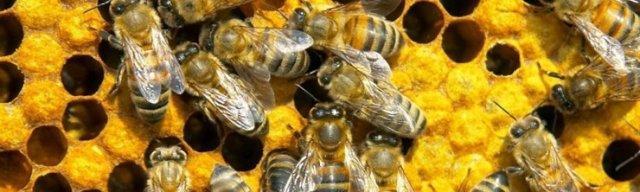 Подмор пчелиный: применение для мужчин, польза, для потенции, при простатите, аденоме простаты