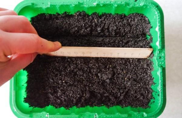 Турецкая гвоздика: выращивание из семян, когда сажать на рассаду