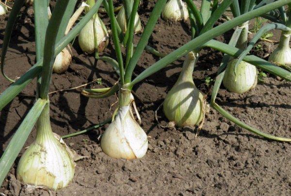 Лук Эксибишен: выращивание через рассаду, когда и как сажать, видео