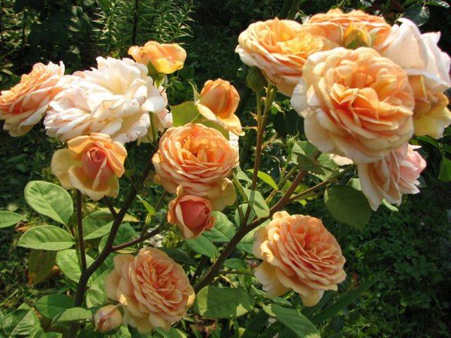 Роза Чарльз Остин: описание + фото