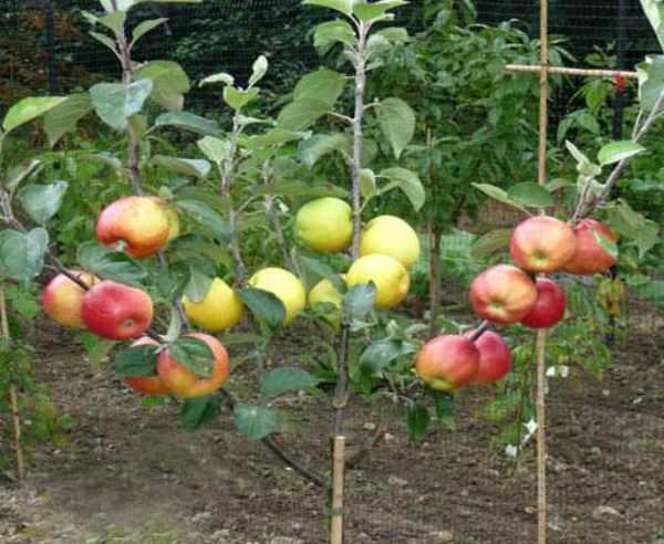Посадка яблонь осенью: сроки, подготовка посадочной ямы, видео