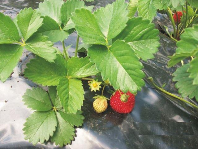 Клубника Эльсанта: описание сорта, фото, отзывы садоводов