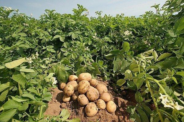 Сорт картофеля Леди Клер: характеристика, фото, отзывы