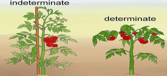 Томат Розмарин: характеристика и описание сорта, урожайность, фото, отзывы