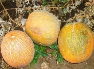 Дыня Идиллия: посадка и уход, выращивание