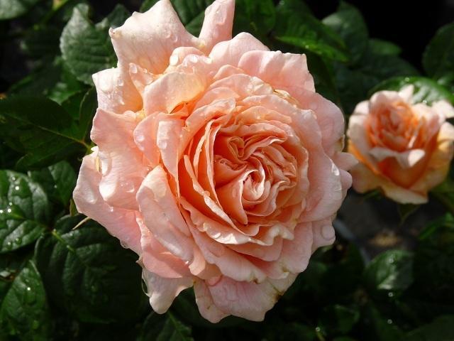 Роза плетистая Полька + фото