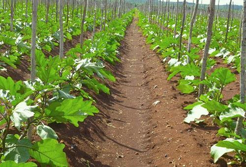 Высаживаем в грунт рассаду баклажан