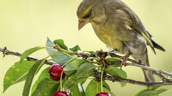 Как защитить черешню от птиц: скворцов, воробьев, дешево, фото, видео