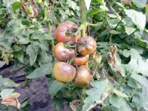 Черная ножка у рассады томатов