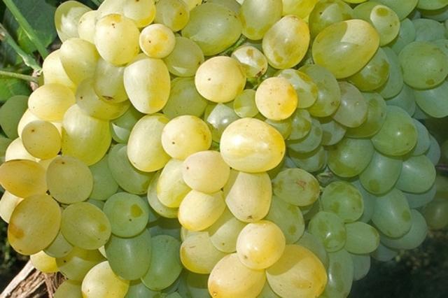 Виноград Монарх: описание сорта, фото, отзывы, видео