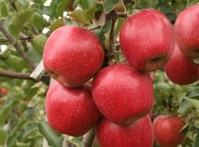 Парша на яблоне: как бороться летом, весной, осенью, видео