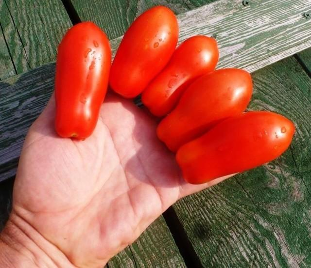 Томат Дамские пальчики: характеристика и описание сорта