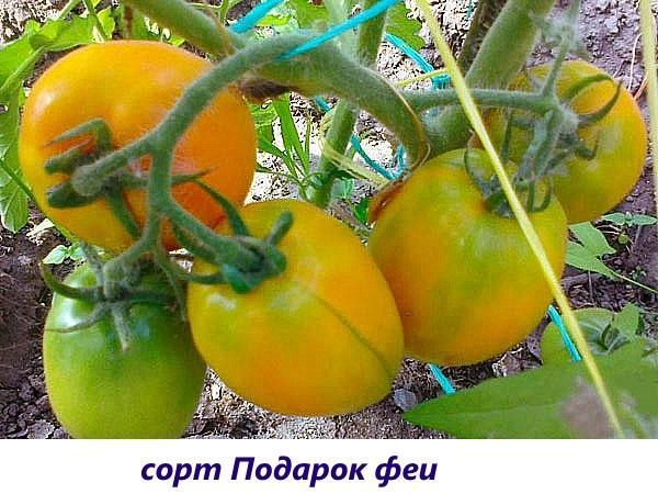 Кистевые сорта помидор для открытого грунта