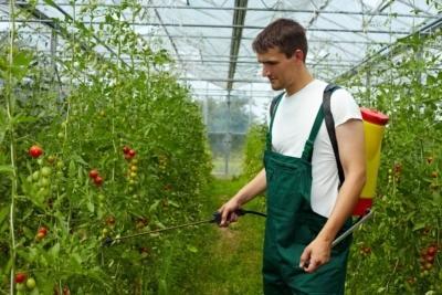 Трихопол против фитофторы на помидорах
